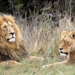 Lions To Return To Rwanda after Twenty Year Absence