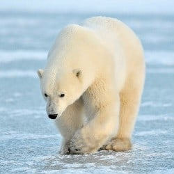 Global Warming Is Leaving Polar Bears Starving