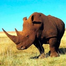 Three Rare Javan Rhino Calves Born