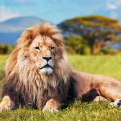 Lion Populations Could Drop By Half Within 20 Years Researchers Warn