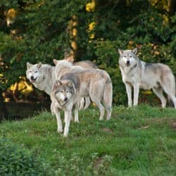 Wolves Make A Come Back In Poland