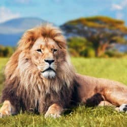 Lion Rescued In Kruger National Park With Help Of Social Media