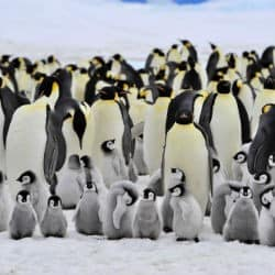 Adelie Penguins Populations Expected To Rise