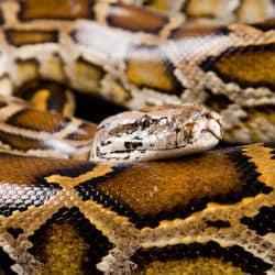 Florida Seeks To Get Rid Of Invasive Burmese Python