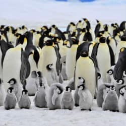 Huge Colony Of Adélie Penguins Under Threat