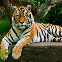 Tiger Poaching On The Rise