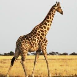 giraffe status changed
