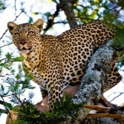 Leopard near extinction