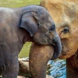 elephant calf had to be euthanized