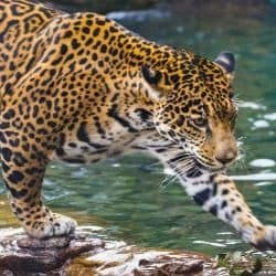 Jaguar return in doubt