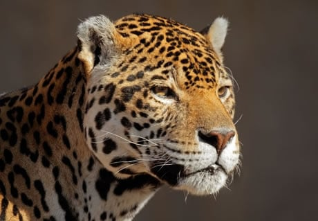 Help Protect the Jaguar