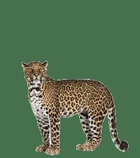 Jaguar Adoption