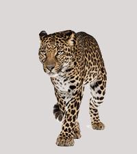 Adopt a Leopard