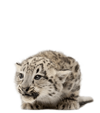 A baby snow leopard