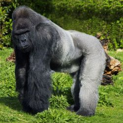 Gorilla 4