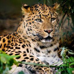 Leopard 4