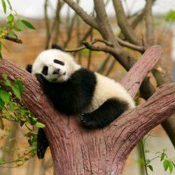panda 4