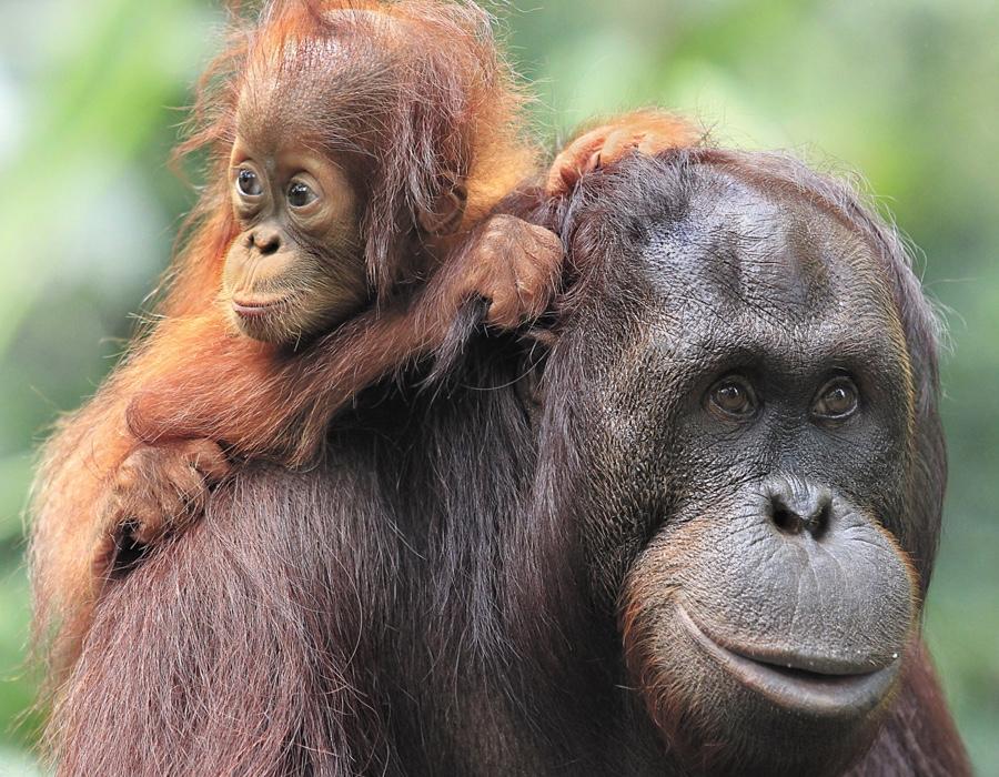 Orangutan Facts