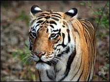 _46058169_tiger_other