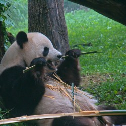 Horses Latest Threat To Panda Habitat
