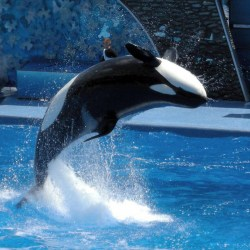 Killer Whale Documentary Makes Waves In California