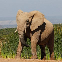 Killing For Ivory Could Drive African Elephant Into Extinction