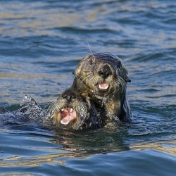 Orphaned Baby Sea Otter Rescued