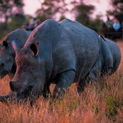 Record Number Of Rhinos Poached Last Year