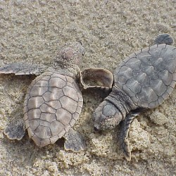 Sea Turtles Take A Shorter Route Around The Atlantic