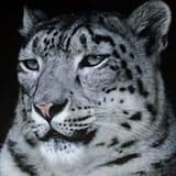 WWFsnowLeopard