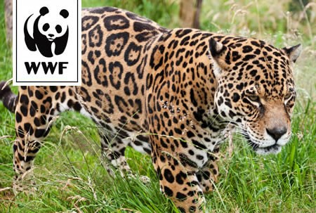 WWF Adopt a Jaguar