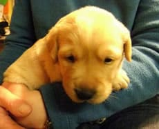 Name a Puppy with Guide Dogs