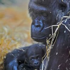 Aspinall Foundation New Born Gorilla