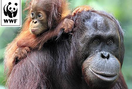 WWF Adopt an Orangutan